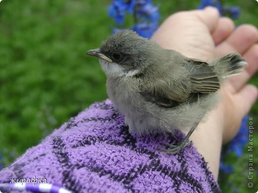 Вот такой красавчик, первый полёт из гнезда и потерялся.... фото 13
