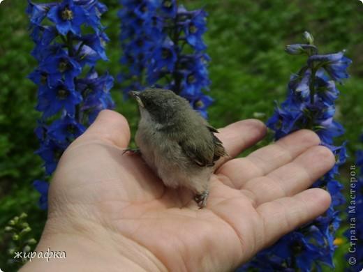 Вот такой красавчик, первый полёт из гнезда и потерялся.... фото 14