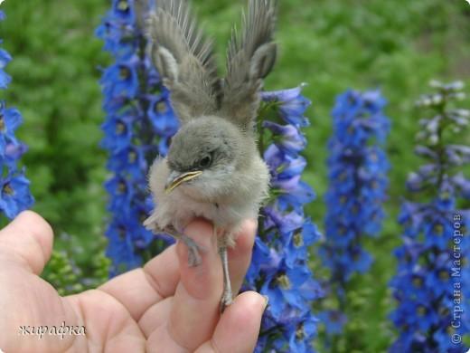 Вот такой красавчик, первый полёт из гнезда и потерялся.... фото 15