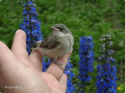 Вот такой красавчик, первый полёт из гнезда и потерялся.... фото 16