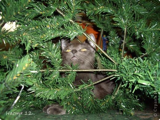 Это моя кошка,её зовут ТУСЯ.Она очень любит играть с ёлкой!!! фото 5
