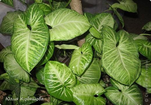 Сингониум пестролистный. Теплолюбивое, влаголюбивое, декоративно лиственное растение, температура содержания не должна опускаться ниже 18 градусов.Для пестролистных форм требуется рассеяный свет, без прямых солнечных лучей. Полив обильный, почва постоянно должна быть влажной, цветок требует постоянного опрыскивания теплой мягкой водой. Зимой растение не следует держать вблизи батарей отопления. Почва для растения нейтральная или слабо кислая, пересаживают молодые растения ежегодно, взрослые - раз в несколько лет, размножают верхушечными и стеблевыми черенками. фото 1