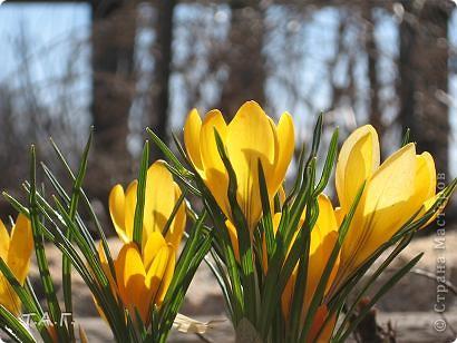 На дворе середина зимы красивой, нарядной, с морозами и снегопадами. Но многие из нас уже запаслись семенами... Я хочу показать малую часть тех цветов, что прижились на нашем участке. Есть среди них капризные, а есть и совершенно неприхотливые. Мне хотелось предложить жителям Страны Мастеров найти пару для растений, но подумав решила сама разместить их рядом. Присмотритесь внимательно к той необычной красоте, что окружает нас в повседневной жизни.  фото 7