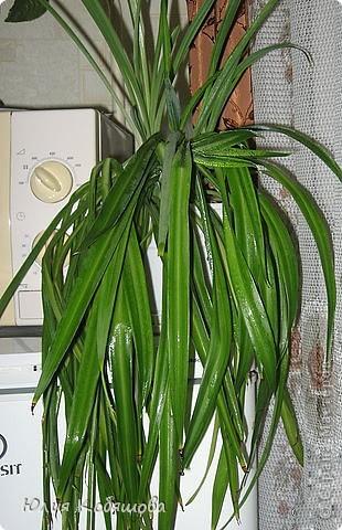 Хлорофитум зеленый. Неприхотливое, теневыносливое, декоративно лиственное растение, температура содержания около 10-18 градусов, хорошо растет как при ярком свете, так и в полутени, но под прямые солнечные лучи растение ставить на следует, полив обильный, земля все время должна быть немного влажной, постоянного опрыскивания растение не требует. Почва подойдет нейтральная, рыхлая, легкая, хлорофитум рекомендуется пересаживать раз в несколько лет, при этом его корневище можно разделить на 2-3 части и таким образом размножить растение, но чаще всего размножают его дочерними розетками. Цветение начинается весной, цветы маленькие, беленькие, не взрачные. фото 2