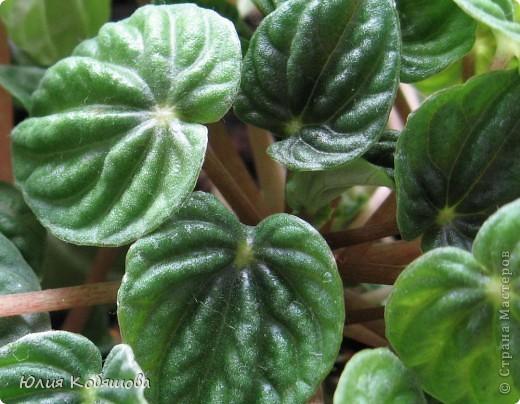 Теплолюбивое, засухоустойчивое, необычно цветущее растение (соцветия пеперомии похожи на колоски подорожника),температура содержания 18-22 градуса, растение нельзя выносить на свежий воздух. Воду в горшок следует подливать осторожно, по мере подсыхания почвы, вода при этом должна быть на 2-3 градуса выше, чем воздух в комнате. Пеперомия хорошо себя чувствует в помещениях с центральным отоплением, постоянного опрыскивания не требует. Почва для посадки - легкая, нейтральная, пересадку производят раз в 2-3 года, размножают укоренением черенков или делением корневища. фото 2