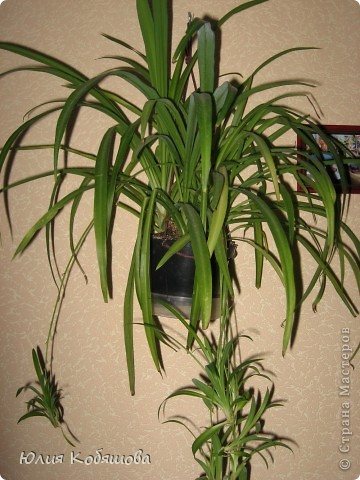 Хлорофитум зеленый. Неприхотливое, теневыносливое, декоративно лиственное растение, температура содержания около 10-18 градусов, хорошо растет как при ярком свете, так и в полутени, но под прямые солнечные лучи растение ставить на следует, полив обильный, земля все время должна быть немного влажной, постоянного опрыскивания растение не требует. Почва подойдет нейтральная, рыхлая, легкая, хлорофитум рекомендуется пересаживать раз в несколько лет, при этом его корневище можно разделить на 2-3 части и таким образом размножить растение, но чаще всего размножают его дочерними розетками. Цветение начинается весной, цветы маленькие, беленькие, не взрачные. фото 1