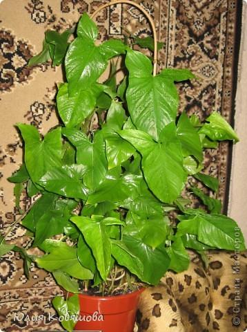 Сингониум пестролистный. Теплолюбивое, влаголюбивое, декоративно лиственное растение, температура содержания не должна опускаться ниже 18 градусов.Для пестролистных форм требуется рассеяный свет, без прямых солнечных лучей. Полив обильный, почва постоянно должна быть влажной, цветок требует постоянного опрыскивания теплой мягкой водой. Зимой растение не следует держать вблизи батарей отопления. Почва для растения нейтральная или слабо кислая, пересаживают молодые растения ежегодно, взрослые - раз в несколько лет, размножают верхушечными и стеблевыми черенками. фото 4