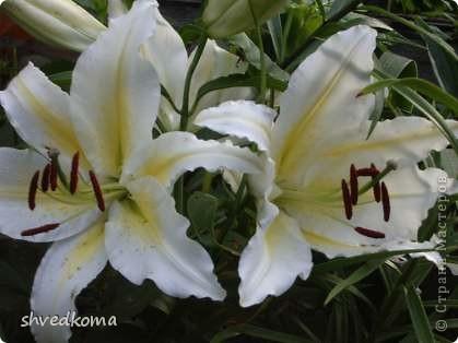мои лилии фото 10