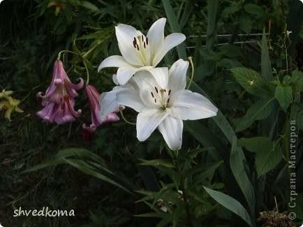 мои лилии фото 11