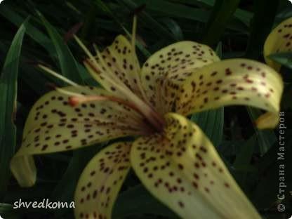 мои лилии фото 13