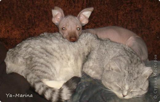 У меня Мексиканские голые собаки))) И кот- подкидыш каких то по- видимому благородных кровей. Между собой они живут,сами видите как)) фото 2