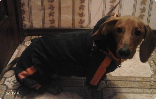 комбез джинсовый для таксы Чарли с капюшоном, зимний. вместо подклада использовала флис фото 1