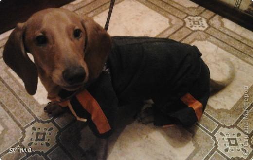 комбез джинсовый для таксы Чарли с капюшоном, зимний. вместо подклада использовала флис фото 2