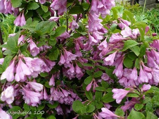 Вейгела в цвету. фото 1