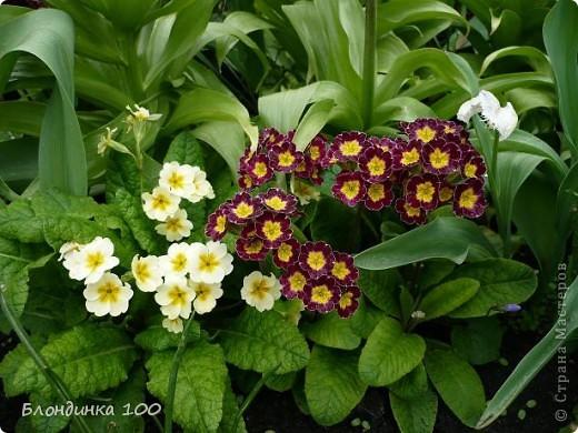 Вейгела в цвету. фото 2