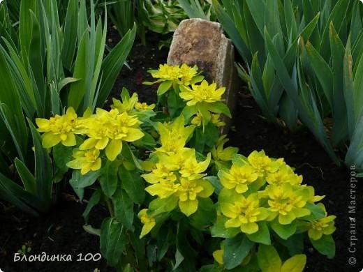 Вейгела в цвету. фото 3