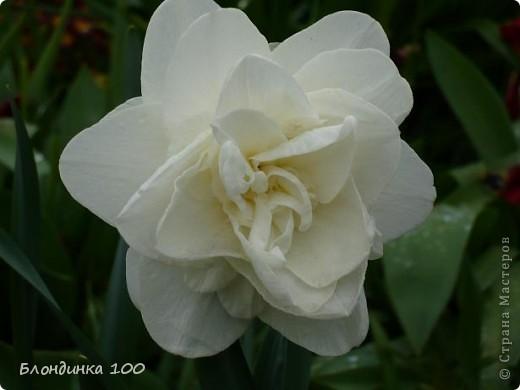 Вейгела в цвету. фото 7