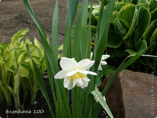 Вейгела в цвету. фото 9