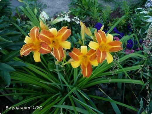 Вейгела в цвету. фото 26