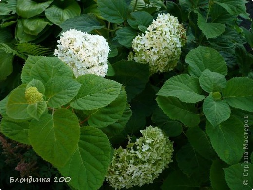 Вейгела в цвету. фото 27