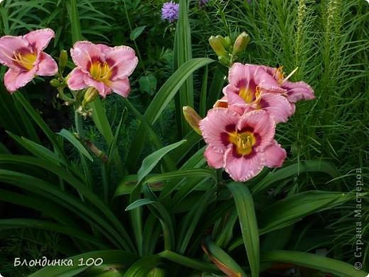 Вейгела в цвету. фото 29