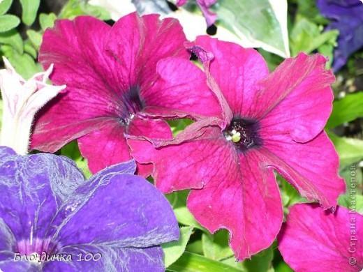 Вейгела в цвету. фото 32
