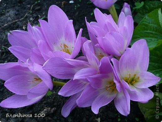 Вейгела в цвету. фото 33