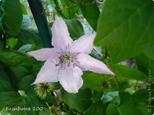 Вейгела в цвету. фото 35