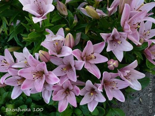 Вейгела в цвету. фото 10