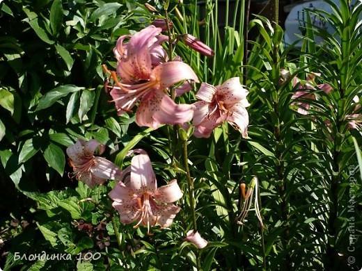 Вейгела в цвету. фото 11
