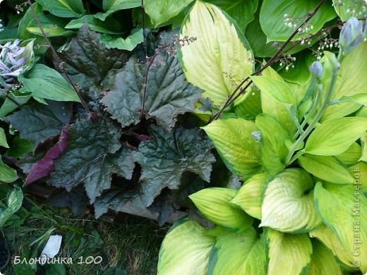 Вейгела в цвету. фото 16