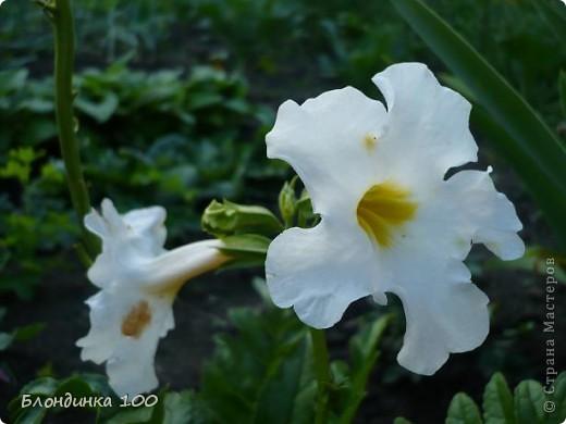 Вейгела в цвету. фото 18