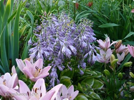 Вейгела в цвету. фото 19