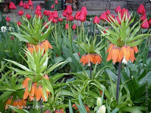 Вейгела в цвету. фото 38