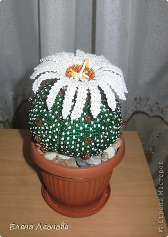 Цветущий кактус астрофитум фото 1