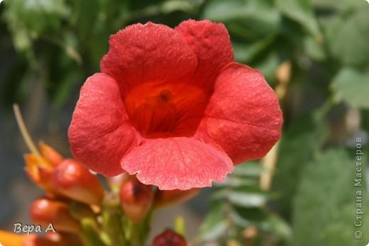 Не знаю, как называется этот вьющийся цветок, но мне очень понравилось, когда они украшали высоченные сосны!!! фото 1
