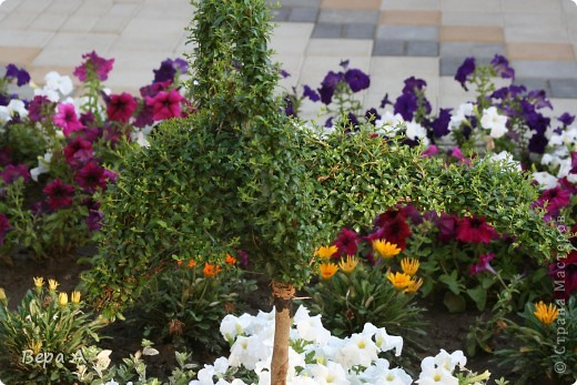 Не знаю, как называется этот вьющийся цветок, но мне очень понравилось, когда они украшали высоченные сосны!!! фото 8