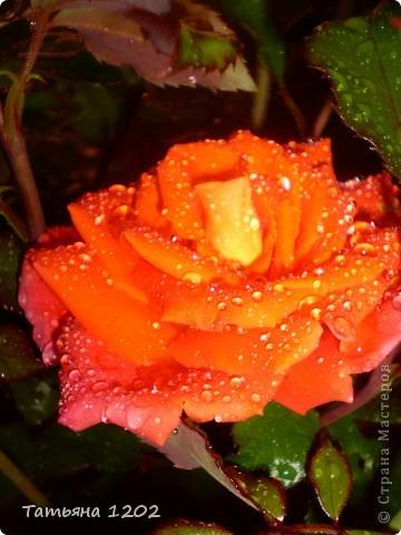 оранжевая роза фото 1