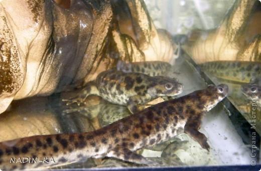 В аквариуме живут не только рыбы.  Если там живут земноводные, то это – акватеррариум!  Вот рассказ о его обитателях.  Первый тритон  появился внезапно. Знакомые освобождали место под  детскую кроватку (в хрущевке), а обитателей аквариума девать было некуда.  Так появились 4 суматранских барбуса, 2 барбуса Шуберта и какой-то тритон.  У тритона не было половины хвоста и пальцев на задней лапе. Мы поначалу могли определить только,  что это - тритон, а какой- было не понятно. Потому что он был тощий, бледный, какого-то равномерно-грязно-серого цвета без характерного рисунка на коже. Это все потому, что все они содержались в одном 80-литровом аквариуме. Суматранцев было только четверо, а они рыбы стайные (стая – это больше 8) и так не отличающиеся мирным нравом, а в условиях стресса постоянно агрессивные к тому же очень шустрые, не в пример тритону.  Вот эти «пьяные матросы» тритона и пообкусали. (о рыбах и их судьбе см. предыдущий репортаж).  Мотайте на ус! Кого с кем держать!  фото 3