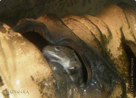 В аквариуме живут не только рыбы.  Если там живут земноводные, то это – акватеррариум!  Вот рассказ о его обитателях.  Первый тритон  появился внезапно. Знакомые освобождали место под  детскую кроватку (в хрущевке), а обитателей аквариума девать было некуда.  Так появились 4 суматранских барбуса, 2 барбуса Шуберта и какой-то тритон.  У тритона не было половины хвоста и пальцев на задней лапе. Мы поначалу могли определить только,  что это - тритон, а какой- было не понятно. Потому что он был тощий, бледный, какого-то равномерно-грязно-серого цвета без характерного рисунка на коже. Это все потому, что все они содержались в одном 80-литровом аквариуме. Суматранцев было только четверо, а они рыбы стайные (стая – это больше 8) и так не отличающиеся мирным нравом, а в условиях стресса постоянно агрессивные к тому же очень шустрые, не в пример тритону.  Вот эти «пьяные матросы» тритона и пообкусали. (о рыбах и их судьбе см. предыдущий репортаж).  Мотайте на ус! Кого с кем держать!  фото 7