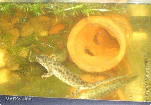 В аквариуме живут не только рыбы.  Если там живут земноводные, то это – акватеррариум!  Вот рассказ о его обитателях.  Первый тритон  появился внезапно. Знакомые освобождали место под  детскую кроватку (в хрущевке), а обитателей аквариума девать было некуда.  Так появились 4 суматранских барбуса, 2 барбуса Шуберта и какой-то тритон.  У тритона не было половины хвоста и пальцев на задней лапе. Мы поначалу могли определить только,  что это - тритон, а какой- было не понятно. Потому что он был тощий, бледный, какого-то равномерно-грязно-серого цвета без характерного рисунка на коже. Это все потому, что все они содержались в одном 80-литровом аквариуме. Суматранцев было только четверо, а они рыбы стайные (стая – это больше 8) и так не отличающиеся мирным нравом, а в условиях стресса постоянно агрессивные к тому же очень шустрые, не в пример тритону.  Вот эти «пьяные матросы» тритона и пообкусали. (о рыбах и их судьбе см. предыдущий репортаж).  Мотайте на ус! Кого с кем держать!  фото 4
