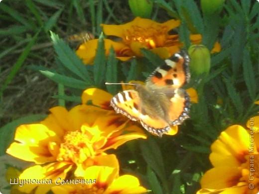 бабочка на бархацах фото 1