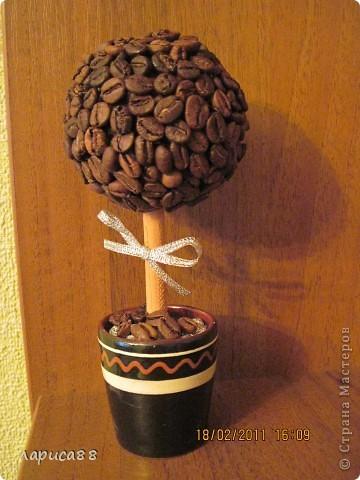 Наверное у всех уже есть кофейное деревце, а у меня вот только созрело. Высота его вместе с горшочком 17 см. фото 1