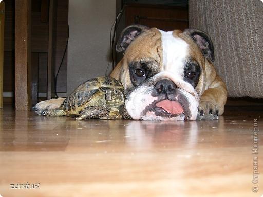 Я сухопутная черепаха. Зовут меня Чипа. У своих хозяев я живу уже 23 года. Принесли меня еще маленькой. Лет пять мне было. Я всего  и всех боялась, пряталась в панцирь. Убегала в укромные уголки. Больше всего мне нравилось прятаться под диваном и наблюдать, как меня ищут. фото 9
