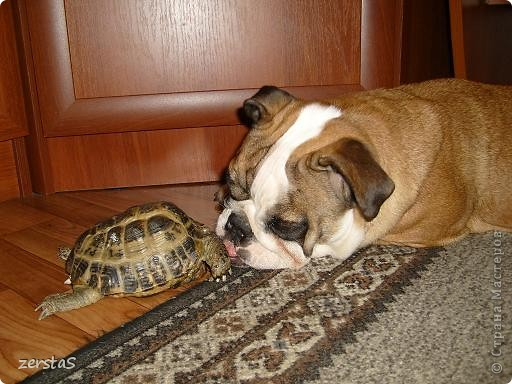 Я сухопутная черепаха. Зовут меня Чипа. У своих хозяев я живу уже 23 года. Принесли меня еще маленькой. Лет пять мне было. Я всего  и всех боялась, пряталась в панцирь. Убегала в укромные уголки. Больше всего мне нравилось прятаться под диваном и наблюдать, как меня ищут. фото 8