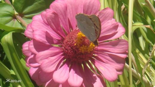 Этот цветок с бабочкой я сделала из сухих листьев и цветов, а именно: листья клёна и фикуса, лепестки розы и хризантемы, немножко герани, тюльпоны, банан. фото 2