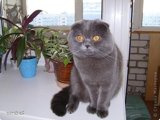 Давайте знакомиться. Я шотландский вислоухий кот. Зовут меня Баскервиль – это для солидности. Дома, просто Бася. Мне всего 3 года.  фото 1