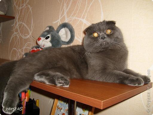 Давайте знакомиться. Я шотландский вислоухий кот. Зовут меня Баскервиль – это для солидности. Дома, просто Бася. Мне всего 3 года.  фото 12