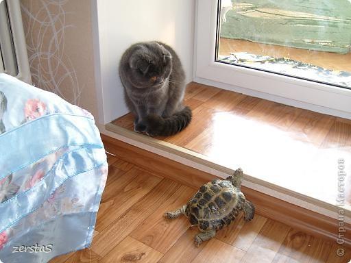 Давайте знакомиться. Я шотландский вислоухий кот. Зовут меня Баскервиль – это для солидности. Дома, просто Бася. Мне всего 3 года.  фото 3