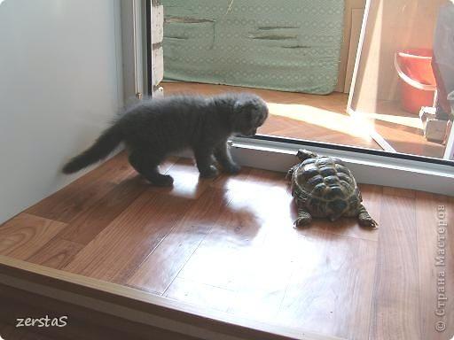 Давайте знакомиться. Я шотландский вислоухий кот. Зовут меня Баскервиль – это для солидности. Дома, просто Бася. Мне всего 3 года.  фото 2